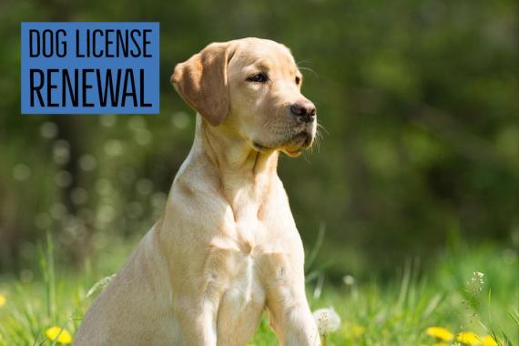 Dog license renewals lab photo